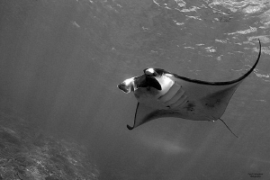 Flying Manta... by Iyad Suleyman 